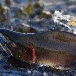 Рыболовный тур «Сплав по реке Хуту и Тумнин»